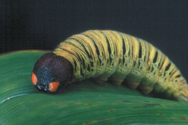 Silver-spotted Skipper Caterpillar - Pittsburgh, Pennsylvania