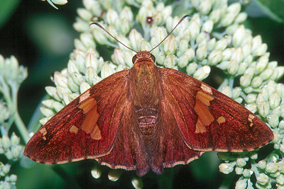 Silver-spotted Skipper - Pittsburgh, Pennsylvania