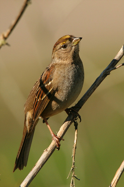 White-crowned Sparrow, female - California