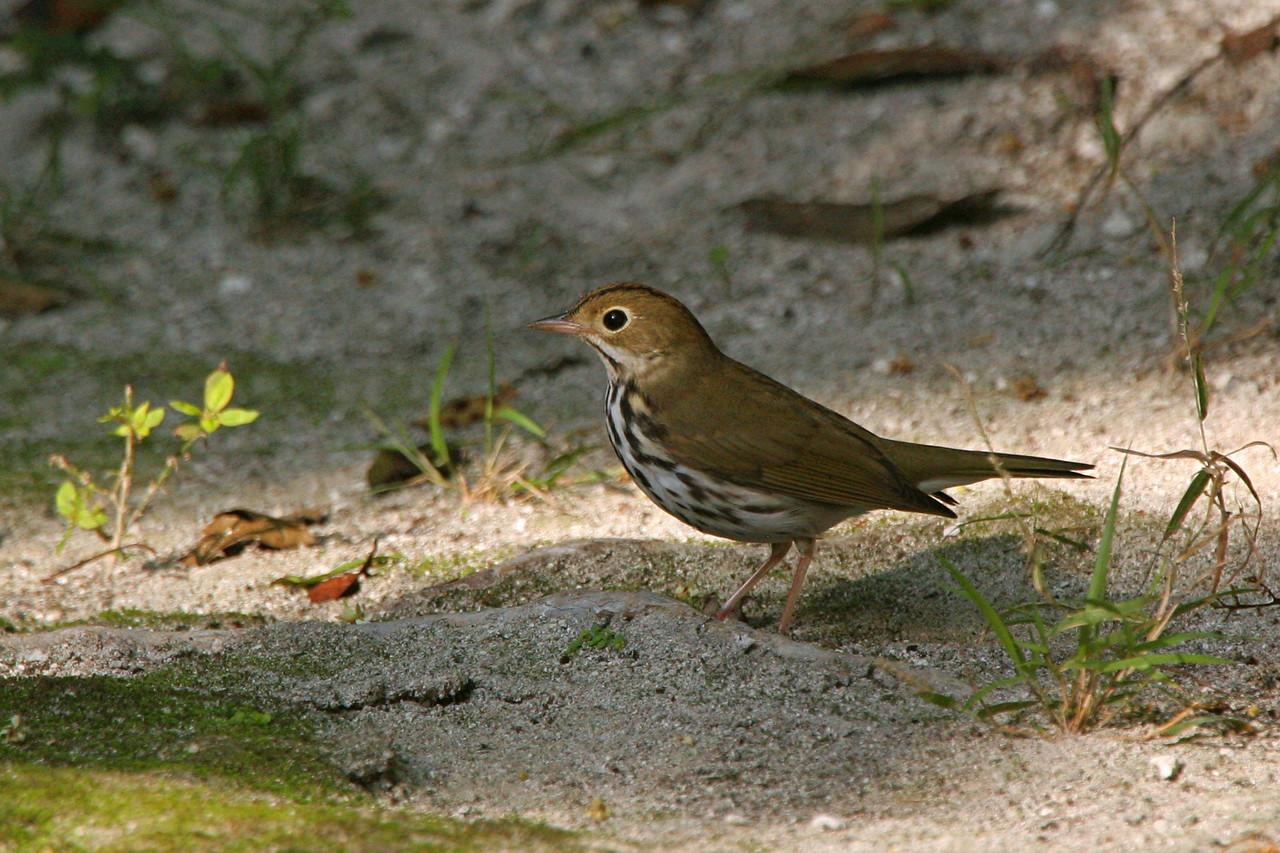 Ovenbird - Mexico