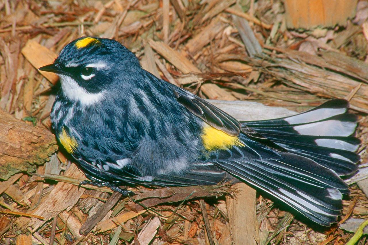 Yellow-rumped Warbler - Pennsylvania