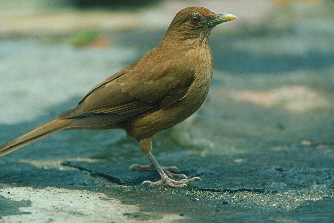 Clay-colored Robin - Panama