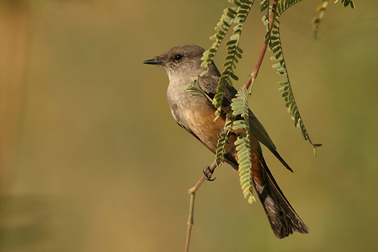 Say's Phoebe - Arizona