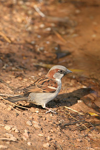 House Sparrow - Arizona