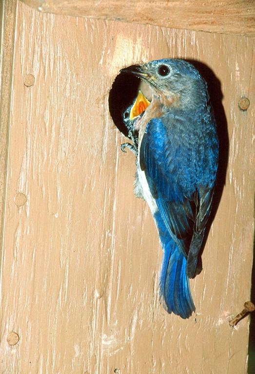 Eastern Bluebird, female - Pennsylvania