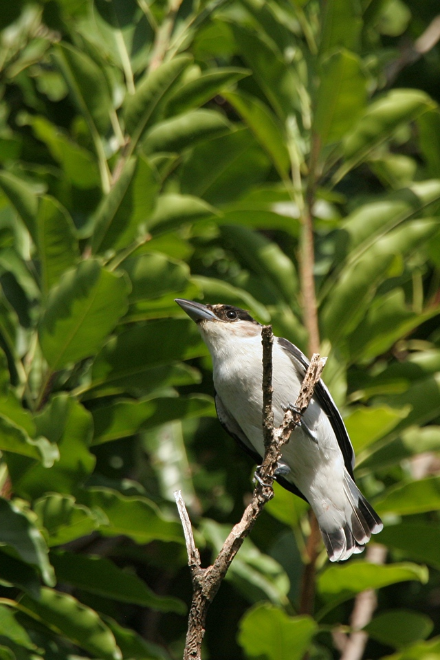 Black-crowned Tityra, female - Mexico