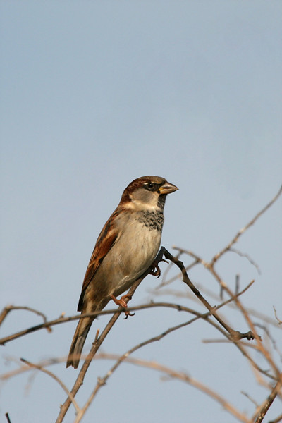 House Sparrow - Pennsylvania