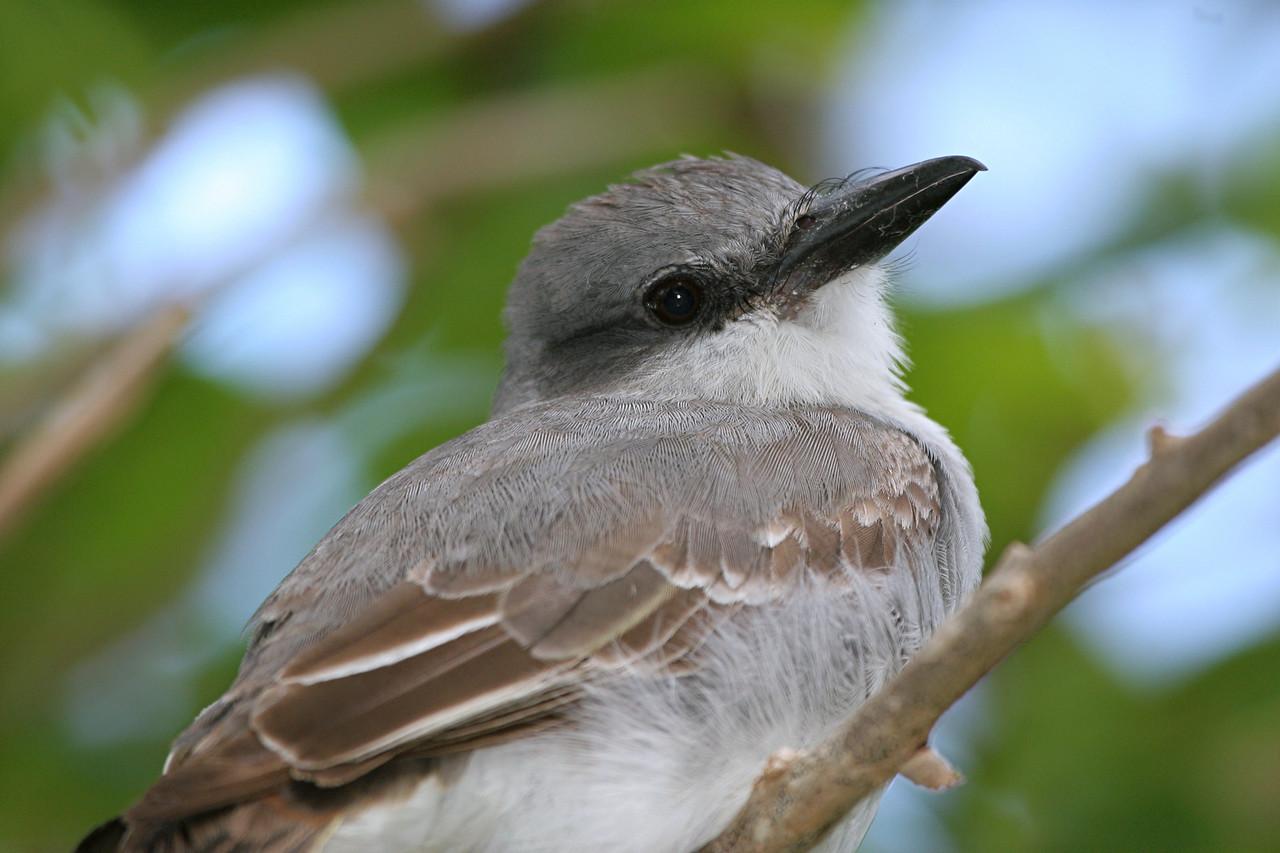 Gray Kingbird (Greater Antillean Race), Puerto Rico