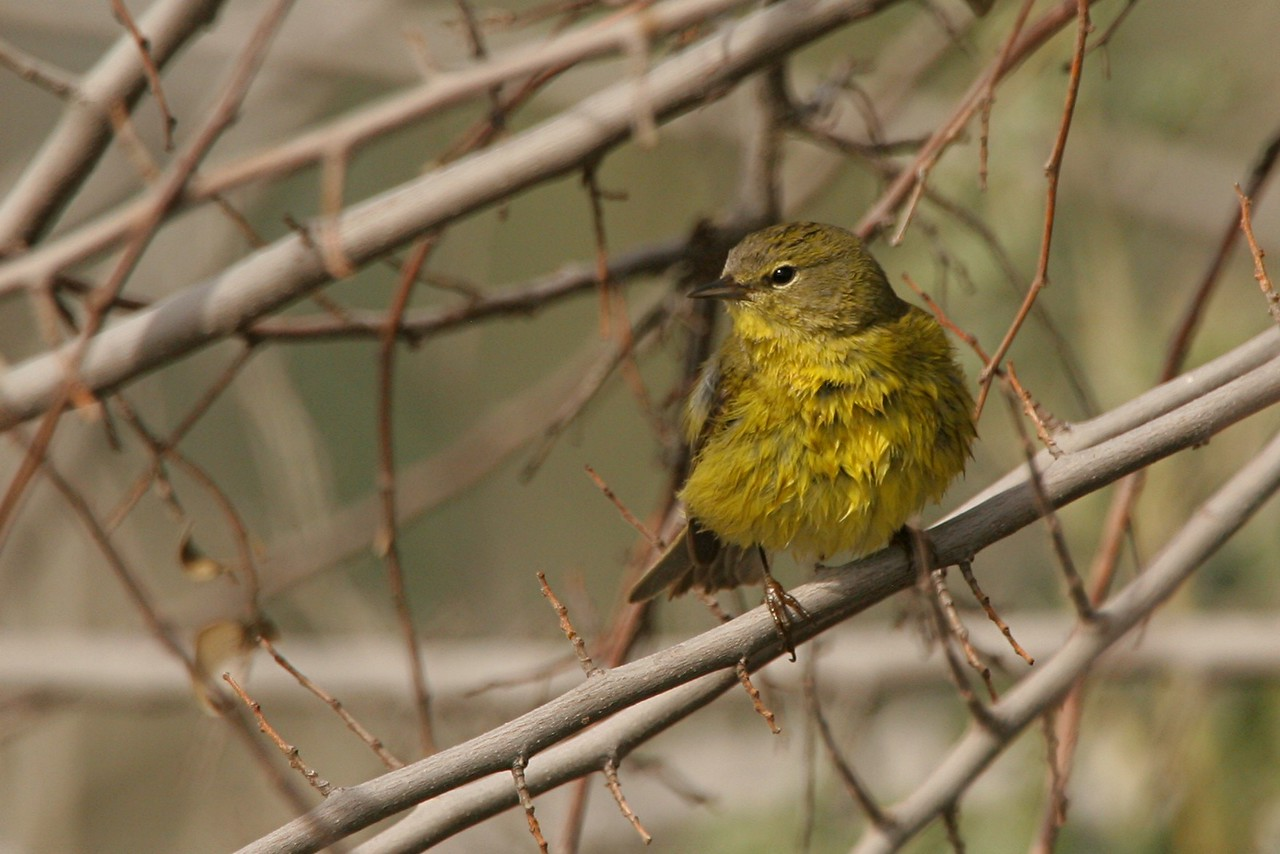 Orange-crowned Warbler - Arizona