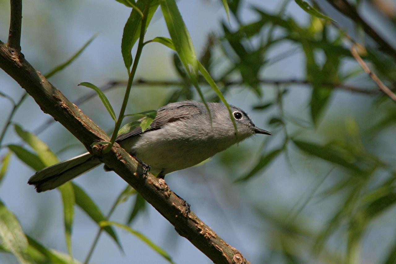 Blue-gray Gnatcatcher - Pennsylvania