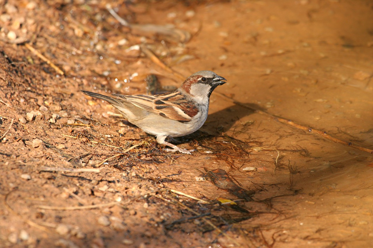 House Sparrow - Arizona