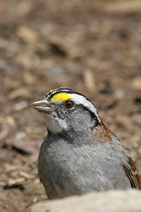 White-throated Sparrow - Pennsylvania