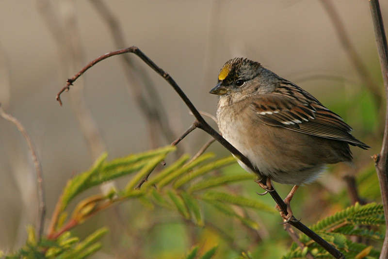 Golden-crowned Sparrow - California