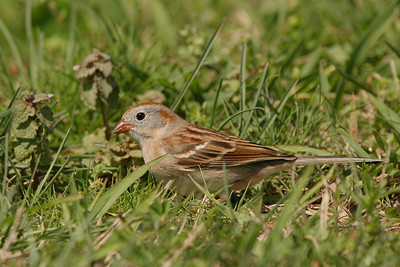Field Sparrow - North Carolina
