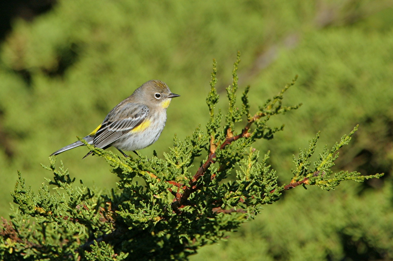 Yellow-rumped Warbler - California