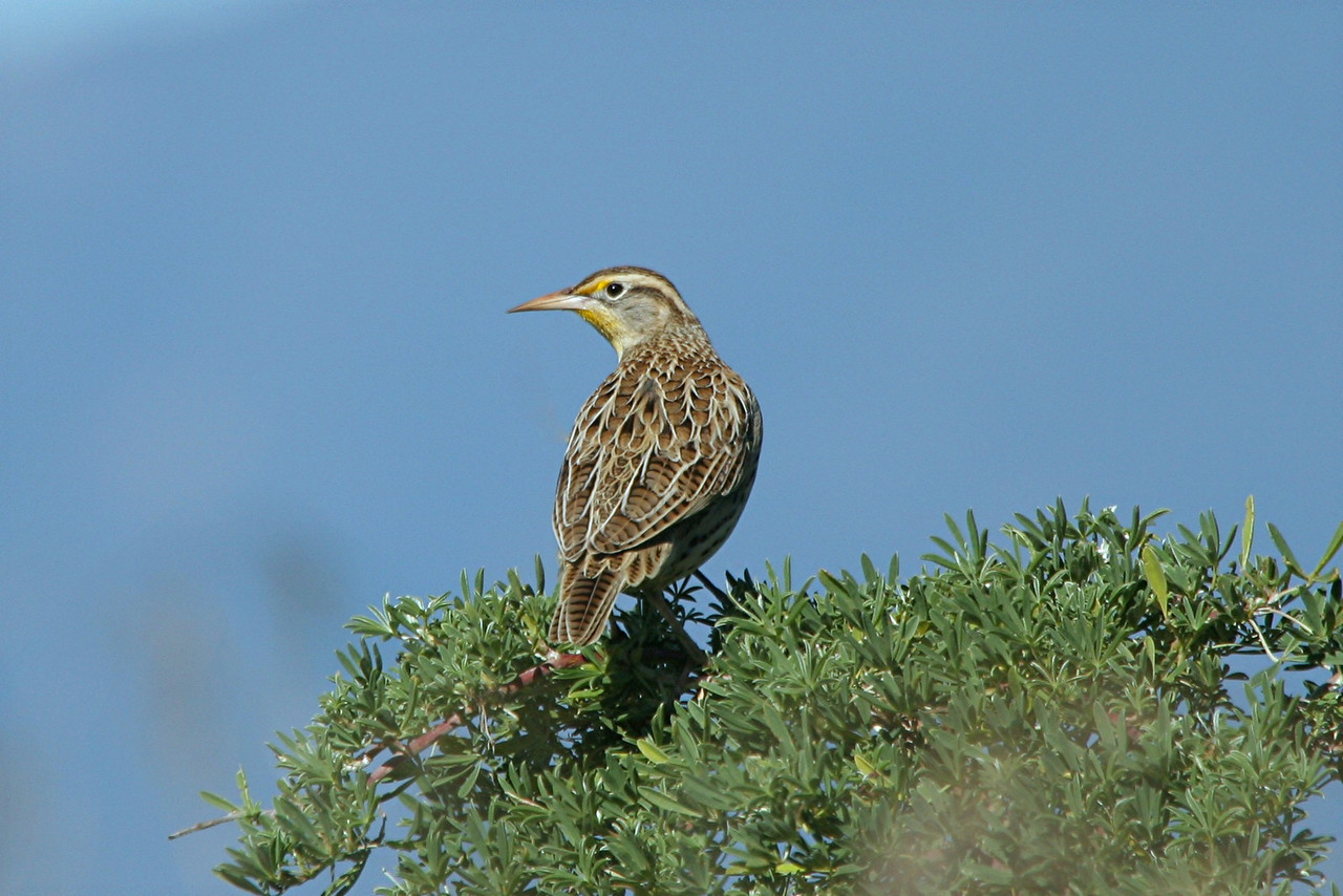 Western Meadowlark - California