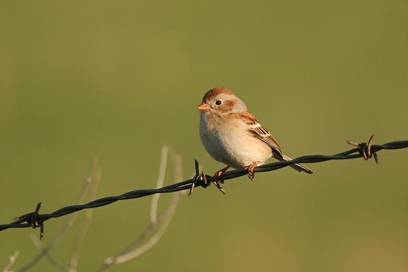 Field Sparrow - North Carolina