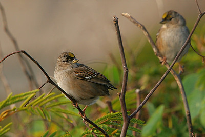 Golden-crowned Sparrows - California