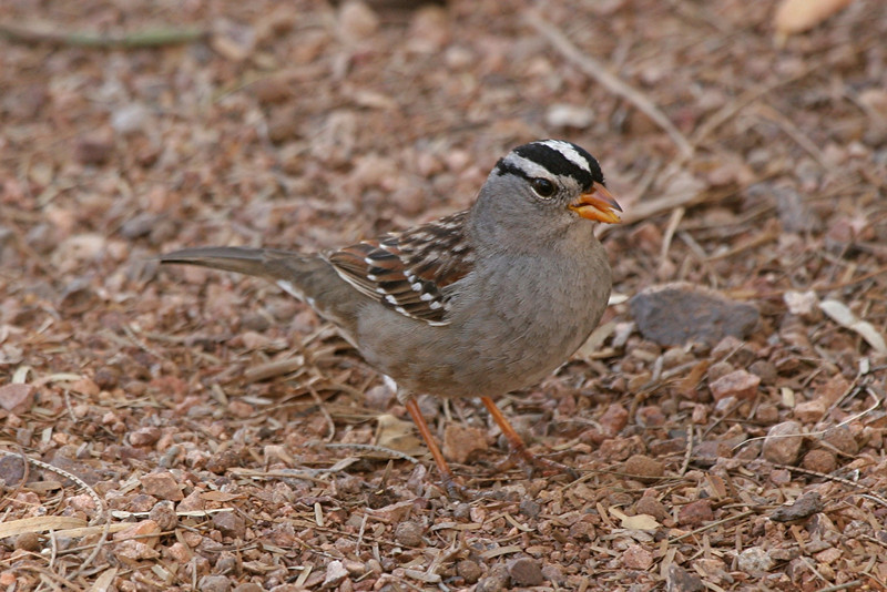 White-crowned Sparrow - Nevada