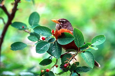 Tanagers, Warblers, Sparrows, Finches, Bluebirds