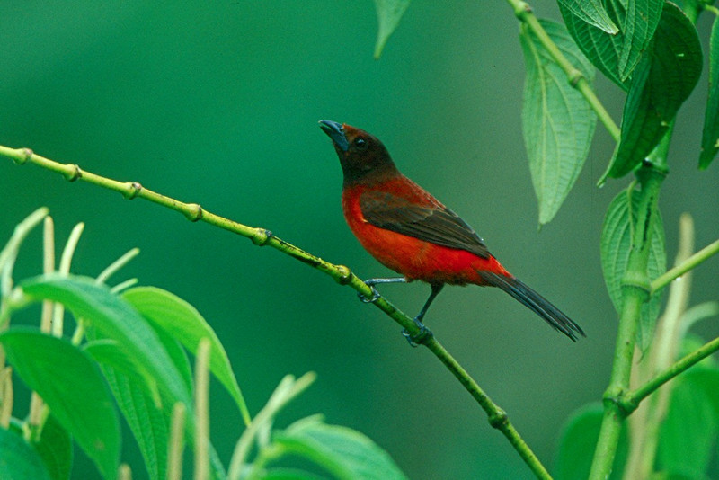 Crimson-backed Tanager - Panama