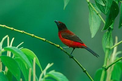 Crimson-backed Tanager - Panama