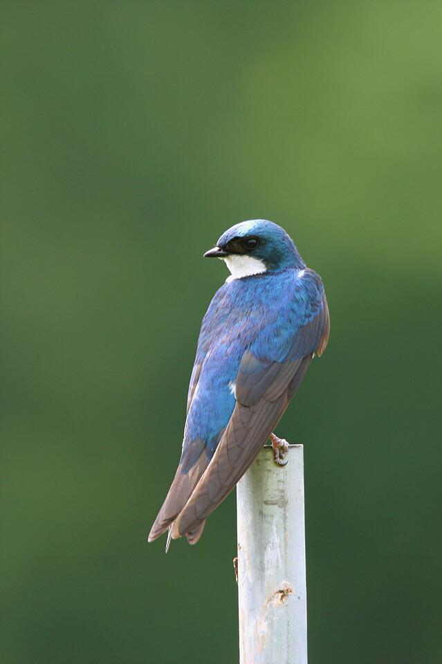 Tree Swallow - Pennsylvania