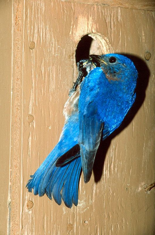 Eastern Bluebird - Pennsylvania