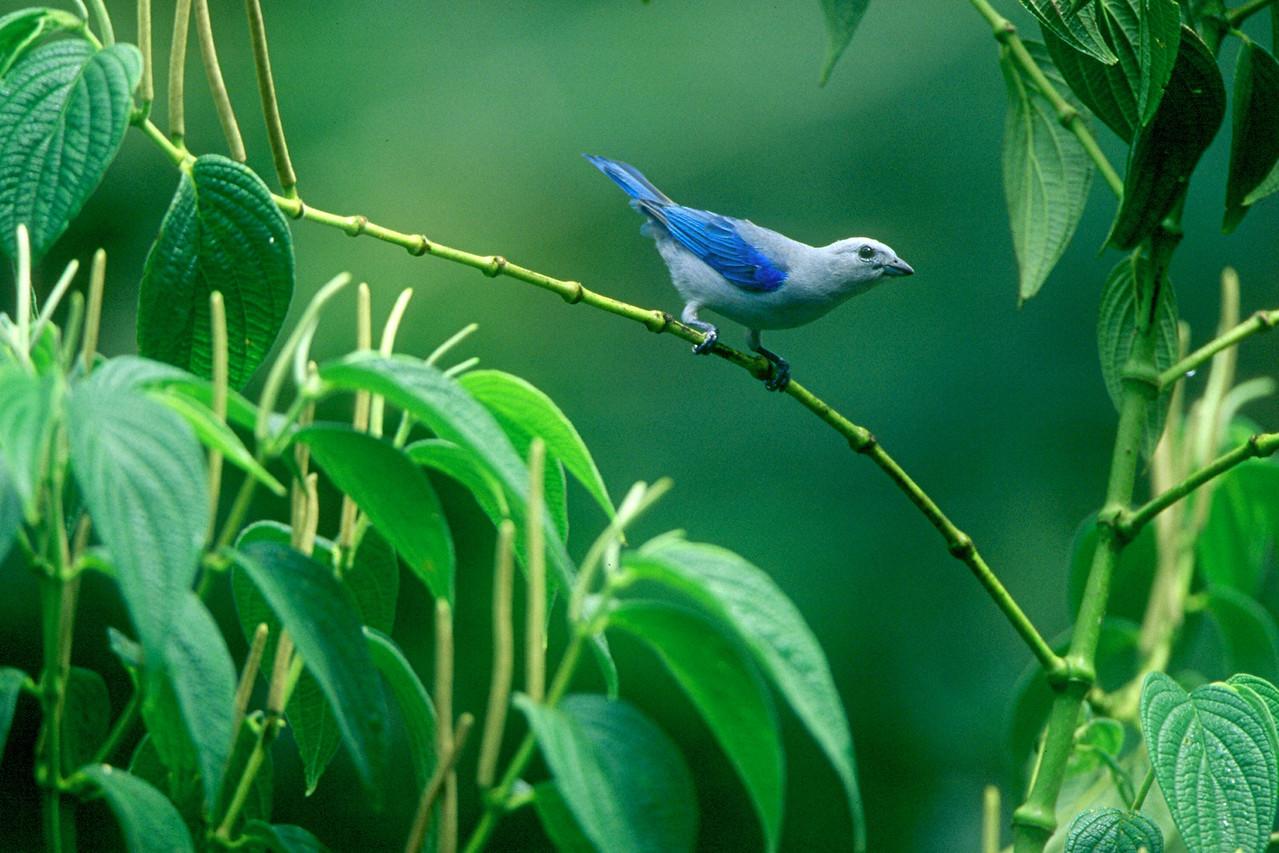 Blue-gray Tanager - Panama