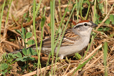 Chipping Sparrow - Pennsylvania