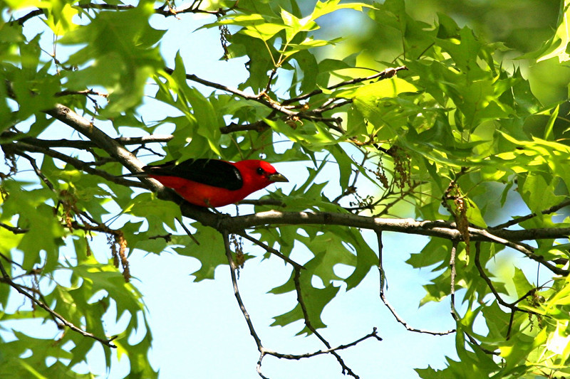 Scarlet Tanager - Pennsylvania
