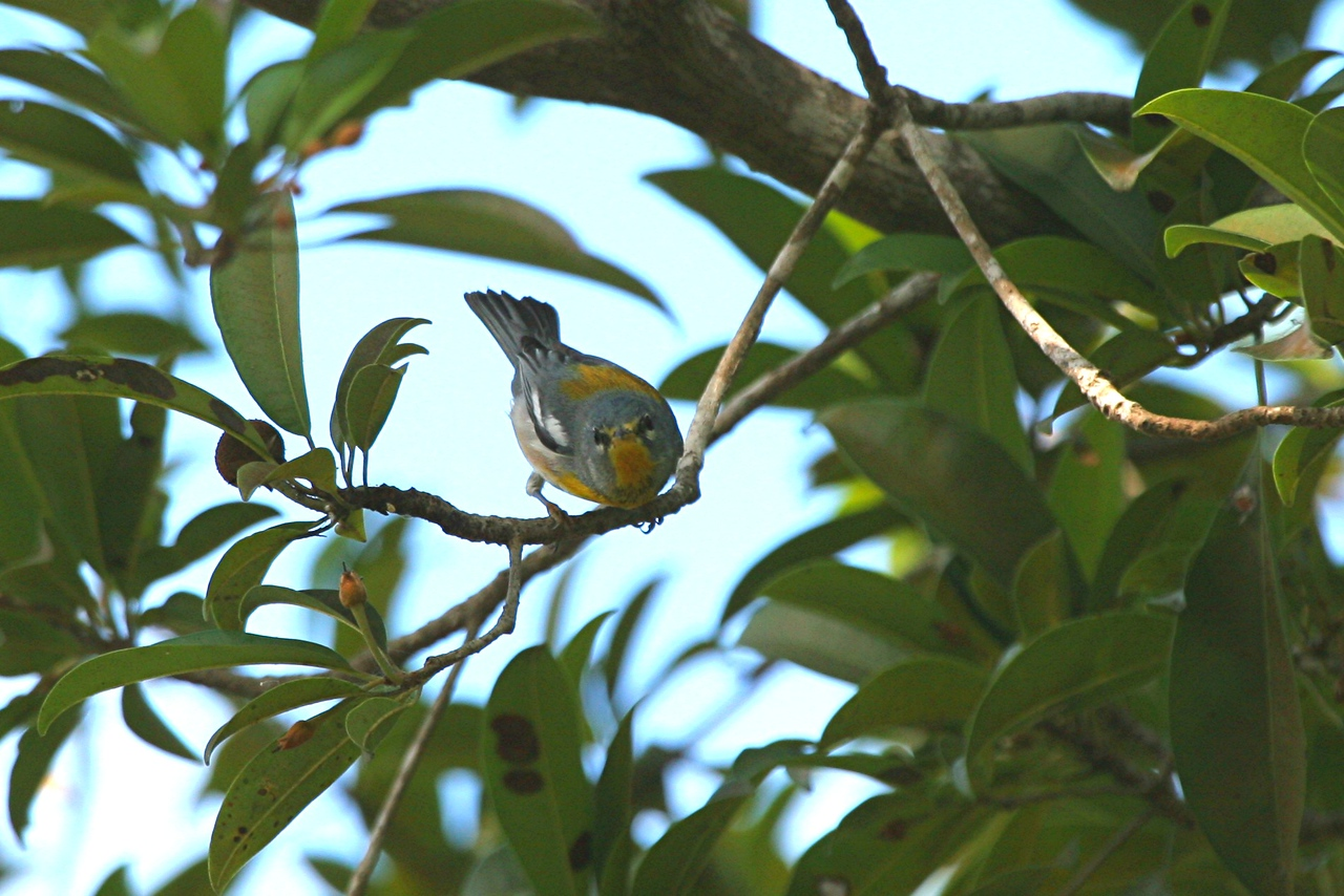 Northern Parula - Mexico