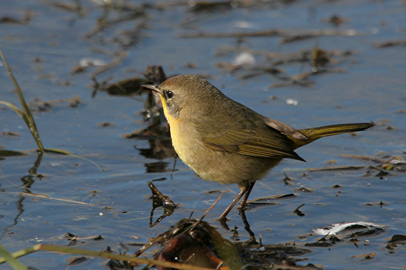 Common Yellowthroat - California