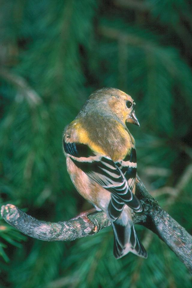 American Goldfinch - Pennsylvania