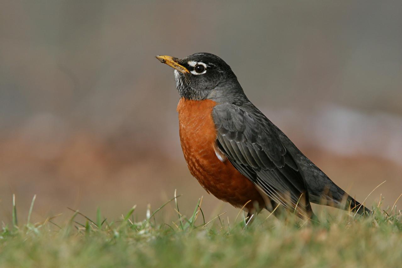 American Robin - Pennsylvania