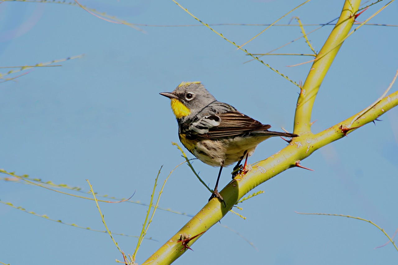 Yellow-rumped warbler - Arizona