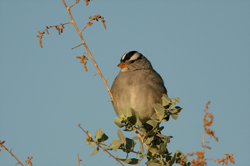 White-crowned Sparrow - Arizona