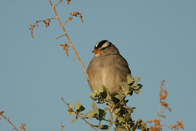 White-crowned Sparrow - Arizona