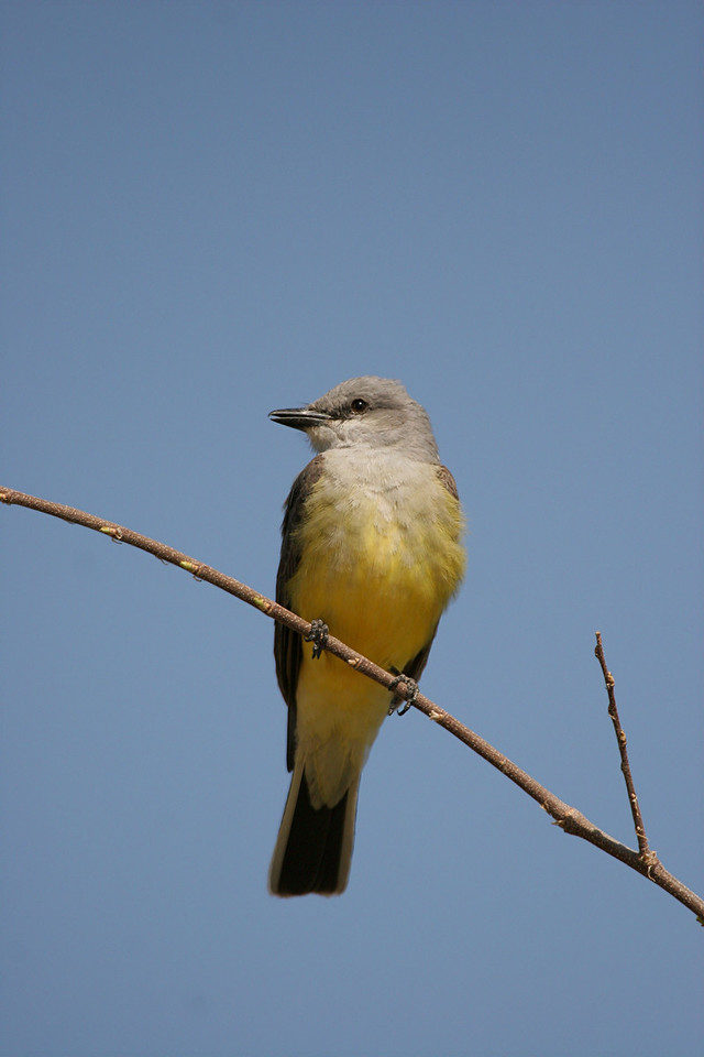 Western Kingbird - Arizona
