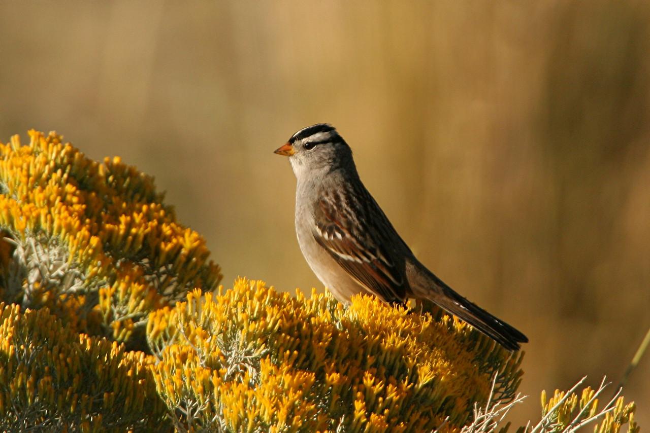 White-crowned Sparrow - Utah