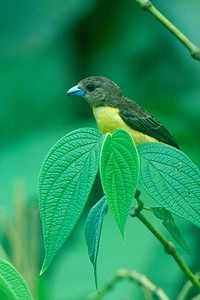 Lemon-rumped Tanager - Panama