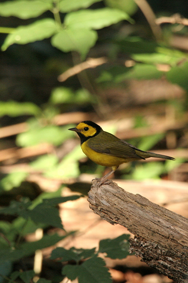 Hooded Warbler - Mexico