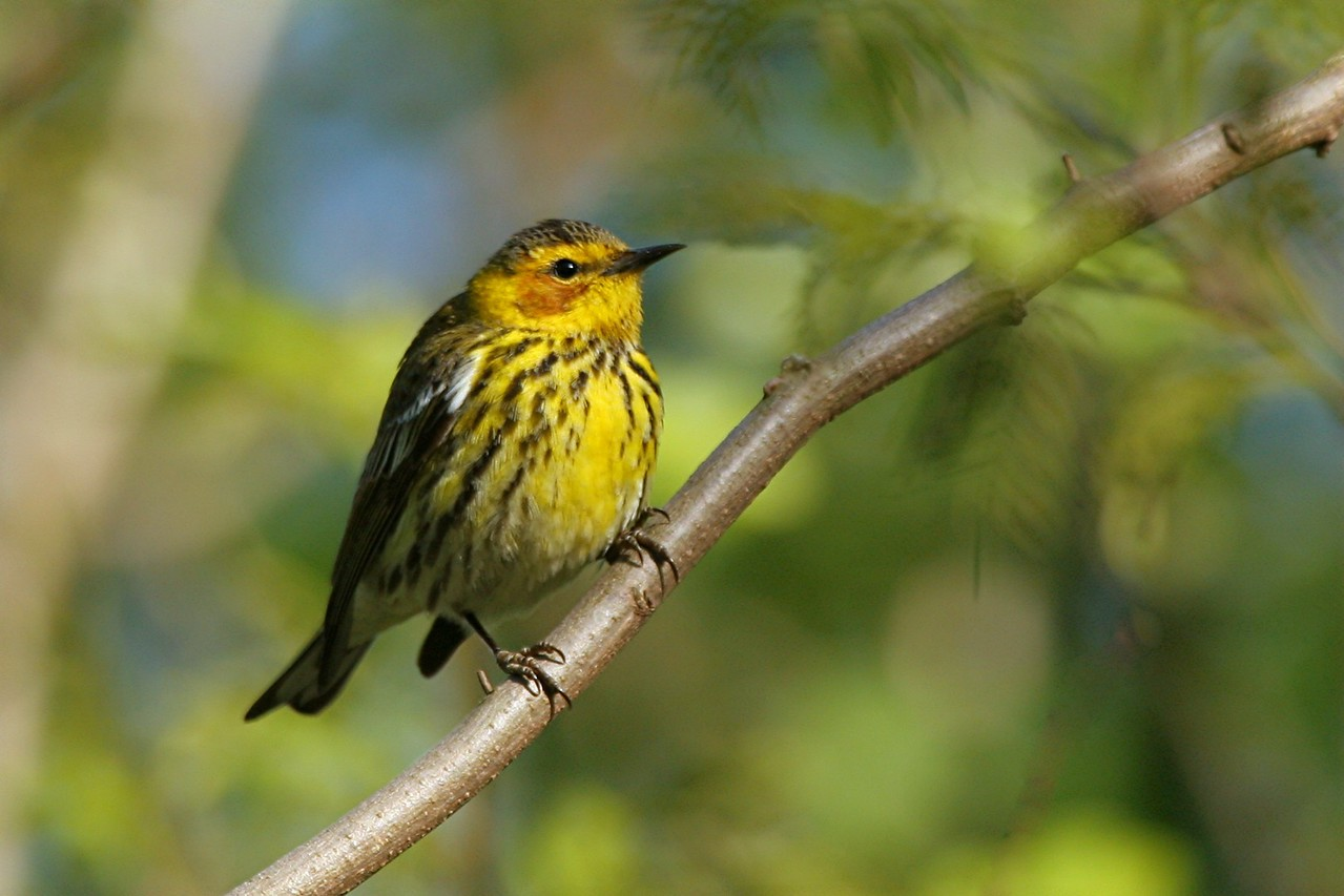 Cape May Warbler - Pennsylvania