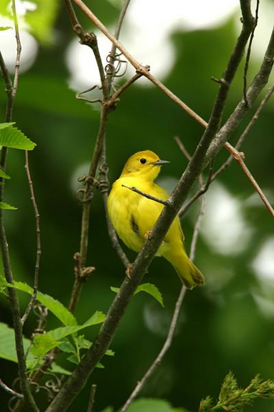 Yellow Warbler, female - Pennsylvania