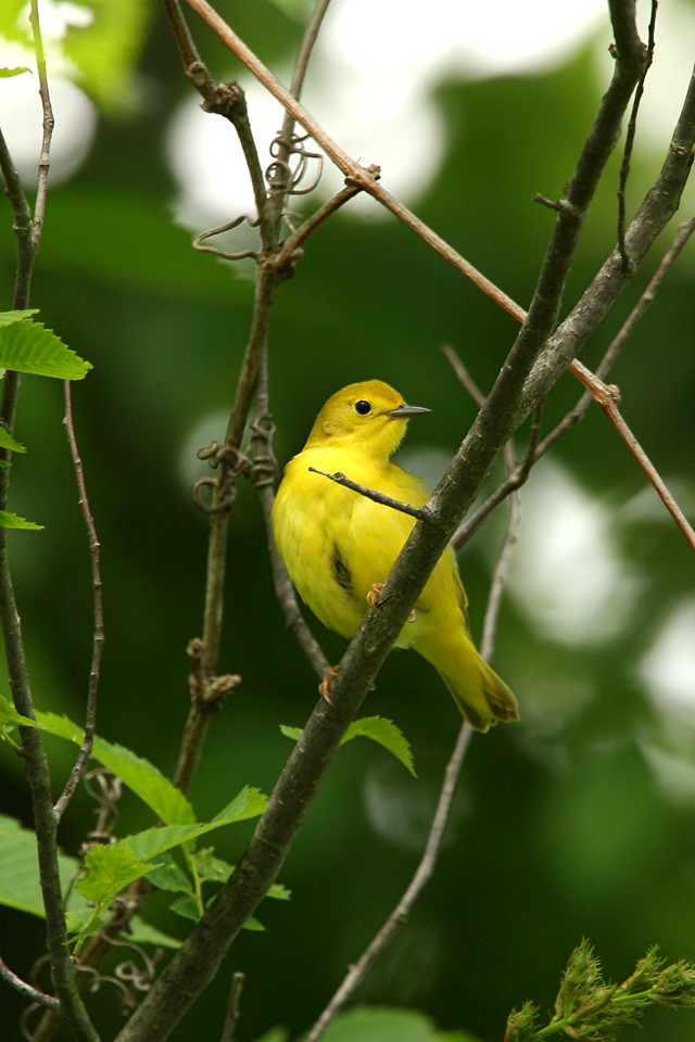 Yellow Warbler, female - Pennsylvania