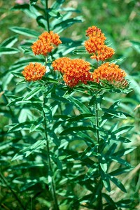Butterfly Weed - South Park, Pennsylvania
