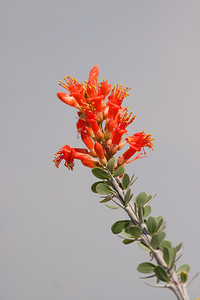 Ocotillo Flower - Gilbert, Arizona