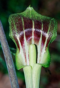 Jack-in-the-Pulpit - South Park, Pennsylvania