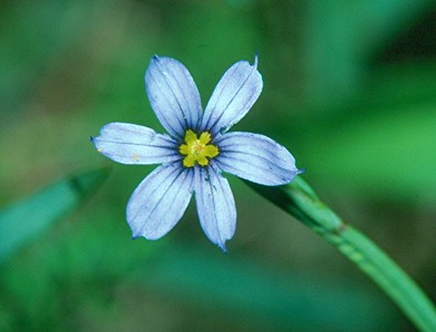 Pointed Blue-eyed Grass - South Park, Pennsylvania