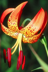 Turk's Cap Lily - Moraine State Park, Pennsylvania